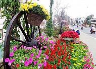 Hoa Đà Lạt Vào Xuân