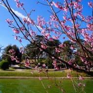 Mùa Xuân Lên Đà Lạt Ngắm Mai Anh Đào