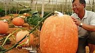 Quả bí ngô nặng 80kg ở Đà Lạt