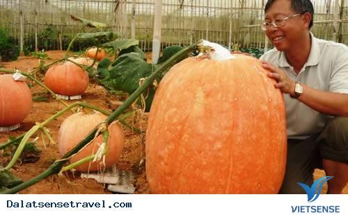 Quả bí ngô nặng 80kg ở Đà Lạt,qua bi ngo nang 80kg o da lat